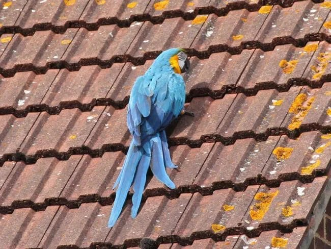 Parrot on Roof
