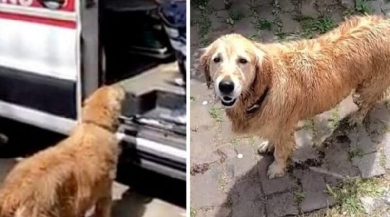 Faithful Dog Chases Ambulance Carrying Sick Owner All the Way To the Hospital