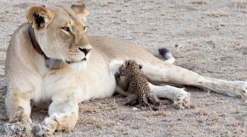"""""""Bizarre"""" Biological Twist: Lioness Mom Adopts And Nurses Orphaned Baby Leopard After Losing Her Cubs"""