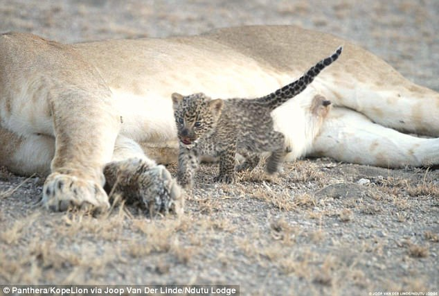 Lioness Adopts Baby Leopard