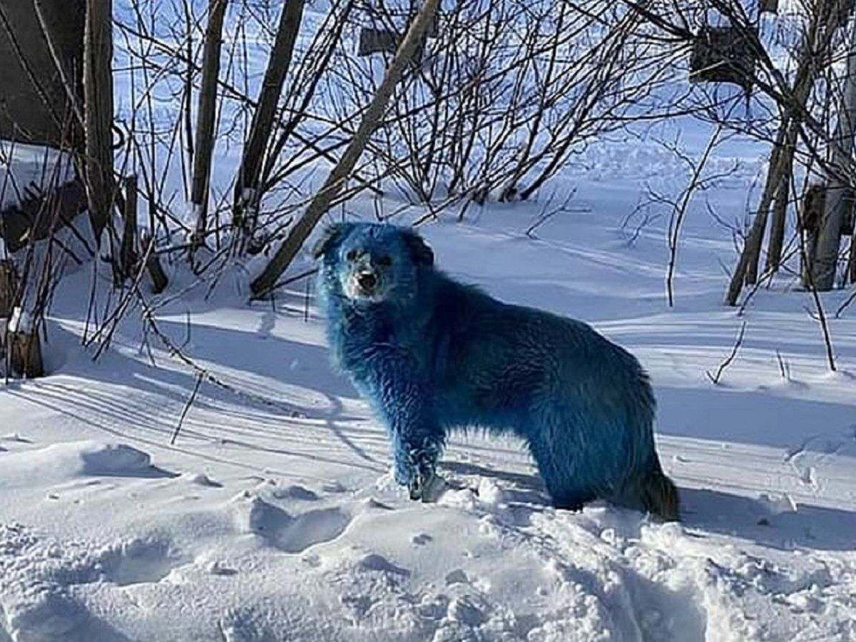 Blue-furred Dogs