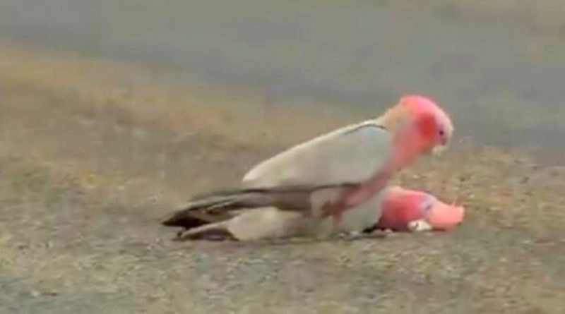 Cockatoo Bids Farewell to His Lifeless Partner and Gives Him One Last Gentle Stroke
