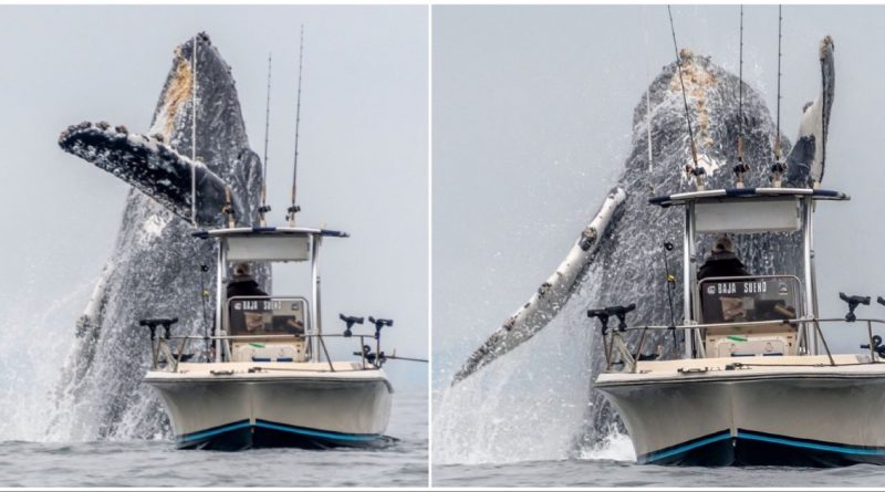 15 Meters Long Humpback Whale Poses For A Photo In California