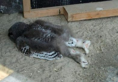 Baby Owls Sleep Facedown Because Their Heads Are Too Heavy And It Is Absolutely Adorable