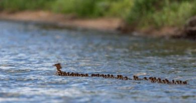 """""""Super Mom"""" Duck Seen With 56 Of Her Ducklings In Tow"""