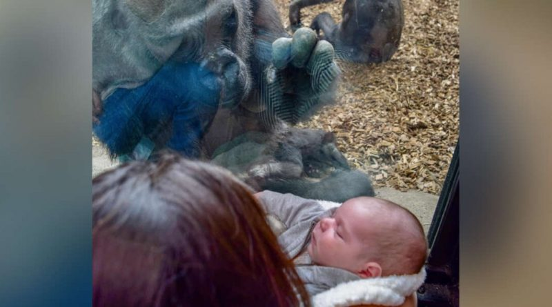 Gorilla Mom And Human Mom Hold Each Others' Babies On Either Side Of Glass Wall At Boston Zoo