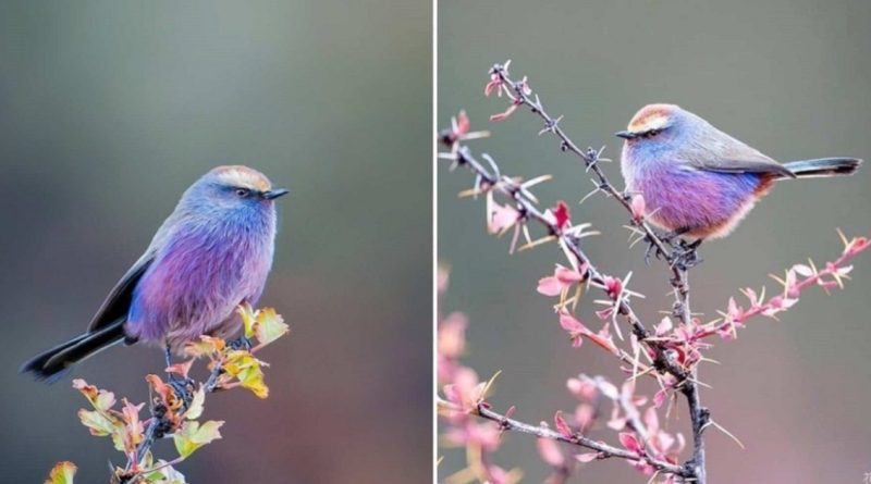 A Photographer Captured A Charcoal Of Spine - A Brilliantly Colored Bird That Looks Like A Fairy Tale